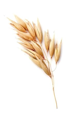 Oat plant isolated on white backgrounds.