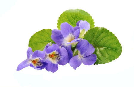 Violets flowers isolated on white backgrounds.