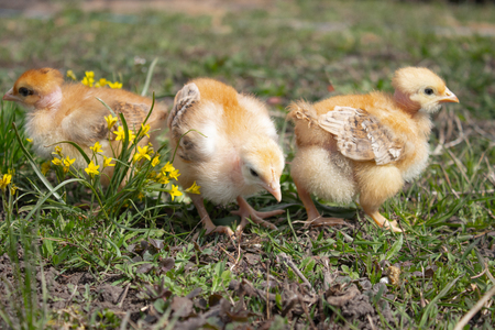 Close-up of yellow chickens on the grass, Beautiful yellow little chickens, A group of yellow chickens.