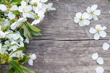 White flowers of cherry on old, wooden boards, a branch of blossoming cherry. View from above. Place for text.