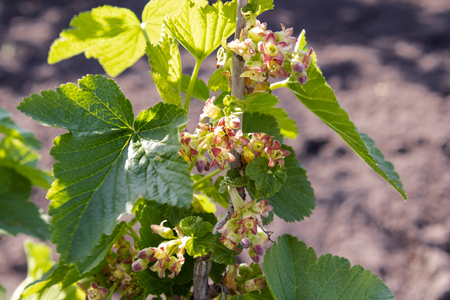 Currant blossomed in the garden. Currant bush with flowers Standard-Bild