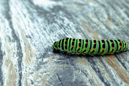 Green caterpillar Machaon crawling on the board. Close-up. Reklamní fotografie