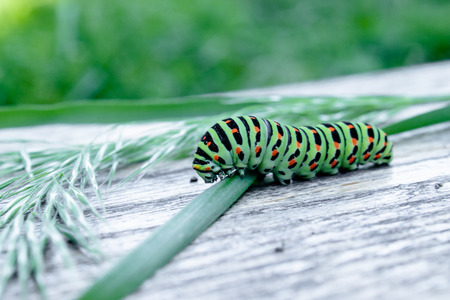 The green caterpillar Machaon feeds on green leaves. Close-up. Stock fotó