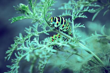 Machaon caterpillar sits on a green stalk. Close-up.