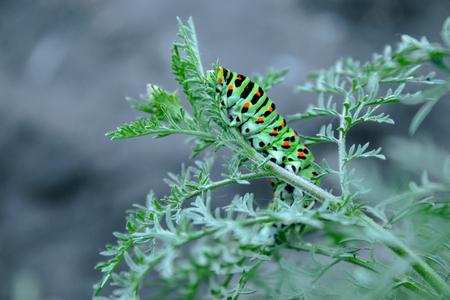 caterpillar crawling on a thin green twig. Close-up.