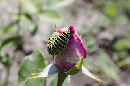 Green caterpillar on a rose. Close-up.