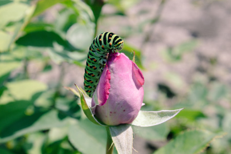 green caterpillar on a pink rose. Close-up.