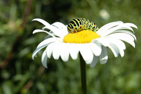 green caterpillar on a white daisy.