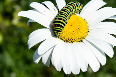 green caterpillar on a white daisy. Close-up. Stock Photo