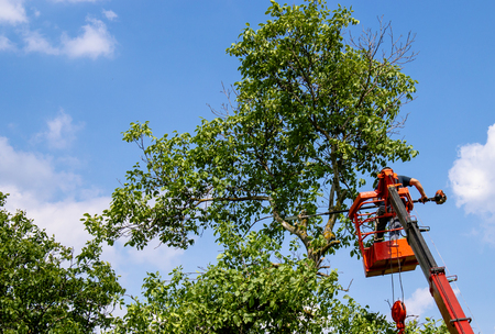 Pruning trees and sawing a man with a chainsaw, a man at high altitude on the platform of a mechanical chairlift between the branches of an old large tree. Stock Photo