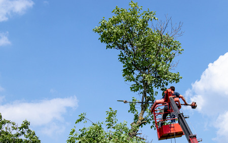 Tree pruning and sawing by a man with a chainsaw are standing on the platform of a mechanical chair lift between the branches of an old large tree. Zdjęcie Seryjne - 124674450