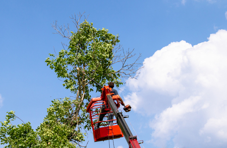 Tree pruning and sawing by a man with a chainsaw are standing on the platform of a mechanical chair lift between the branches of an old large tree.
