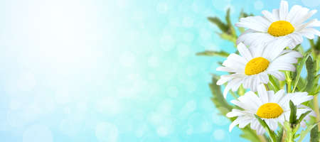 Summer blooming chamomile, camomile on blue background, toned, light and heart bokeh background, pastel and soft card