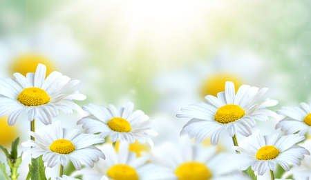 Beautiful chamomile flowers in the meadow. Spring meadow with sunny flowers in spring or summer. Nature background with blooming chamomile in sun glare. Soft focus.