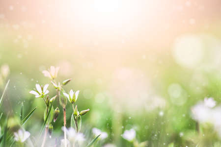 Spring or summer background with fresh grass and white flowers in morning light with sunbeams. An image of purity and freshness of nature.
