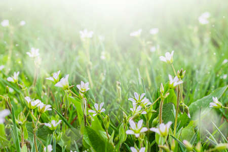 Small white flowers on green grass outdoors close-up. Spring or summer floral background. Selective focus.