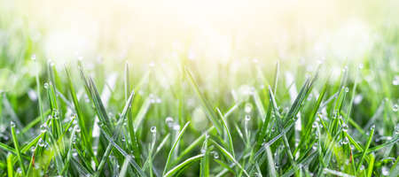 Fresh green grass in the meadow with water dew drops in the morning light. Spring or summer background, banner.