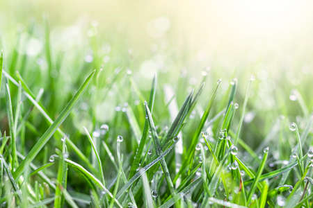 Fresh green grass in the meadow with water dew drops in the morning light. Spring or summer background.