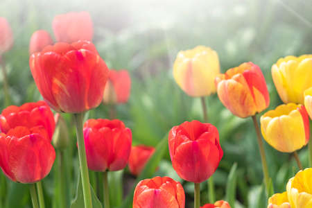 Tulip flower with background of green leaves in tulip field on summer or spring day for beauty postcard decoration and agriculture concept design. Banque d'images