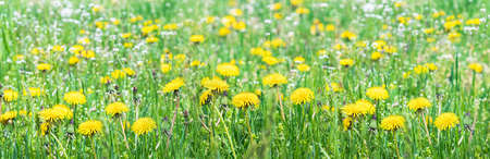 Green field with yellow dandelions. Close-up of yellow spring flowers on the ground. Dandelions in the spring.