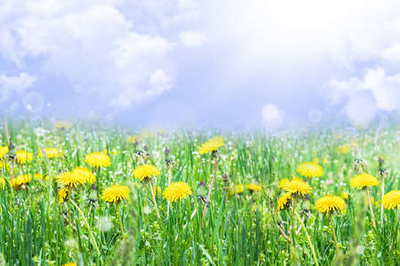 Yellow dandelions. Bright flowers of dandelions on the background of green spring meadows. Dandelions in the spring.