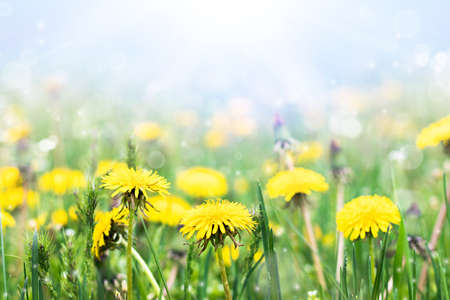 Meadow with yellow dandelions on a sunny day. Blooming dandelions close up. Dandelions in the spring.