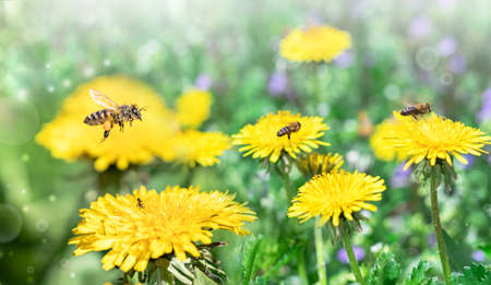 Bees work on yellow dandelions and collect yellow pollen. Bees collect nectar. Banque d'images