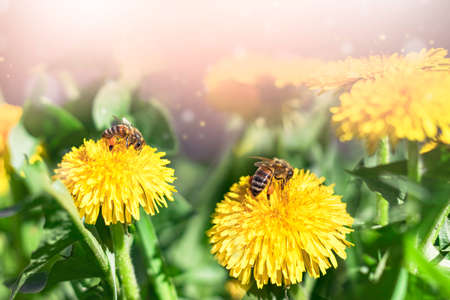 A bee collects nectar on a yellow dandelion, flower, green grass, yellow pollen. A bee is working on a yellow dandelion.