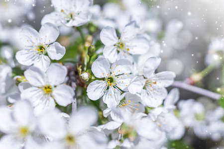 Cherry flowers in small clusters on a cherry branch, fading to white. Shallow depth of field. Cherry blossoms