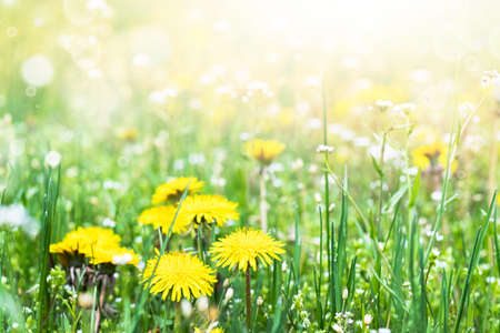 Flowers of yellow dandelions in nature in warm summer or spring on a meadow in sunlight. Blooming dandelions close up. Dandelions in the spring. Banque d'images