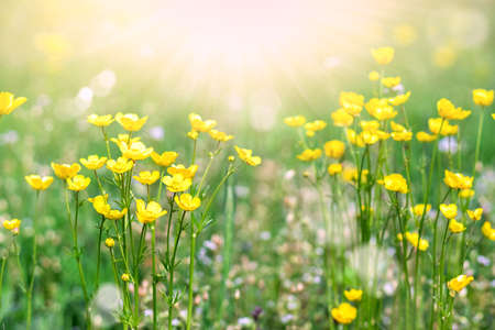 Yellow flowers on a background of summer meadows and sunbeams. Yellow wildflowers.