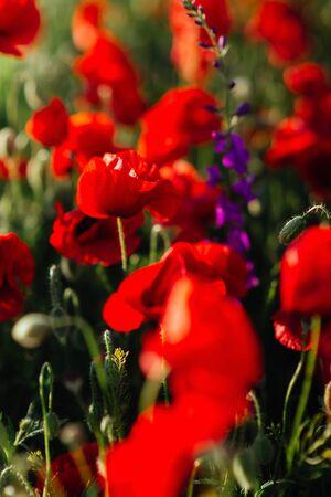 Flower poppy flowering on background poppies flowers.