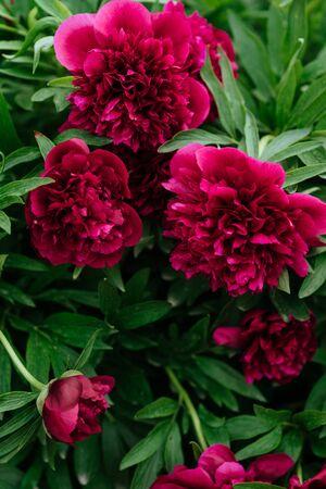 Red peonies in the garden.