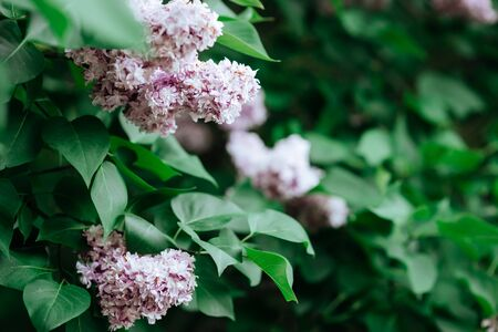 Lilac blossom in spring scene. Spring blooming lilac flowers. Standard-Bild