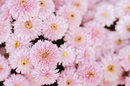 chrysanthemum flowers wallpaper background.