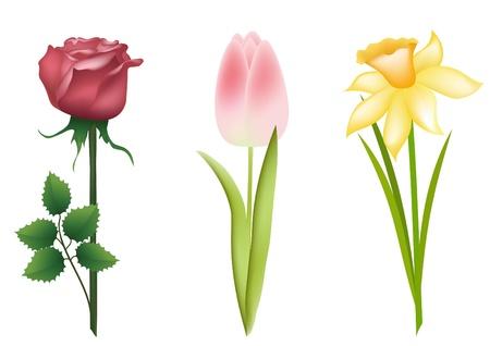 daffodils: Floral set. Rose, tulip, daffodil. Vector illustration.