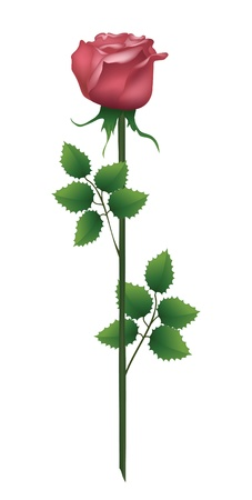 rose stem: One rose is isolated on the white. Vector illustration.