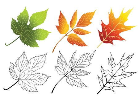 acer: Set of autumn leaves isolated on the white.
