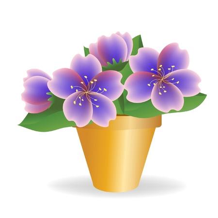 Violet. House plant.