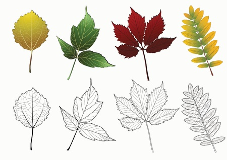 aspen leaf: Set of autumn leaves isolated on the white