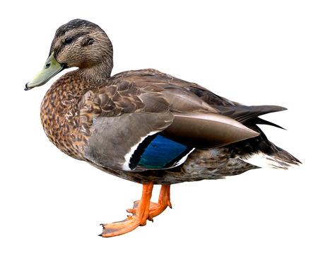 quack: Female Mallard  Stock Photo