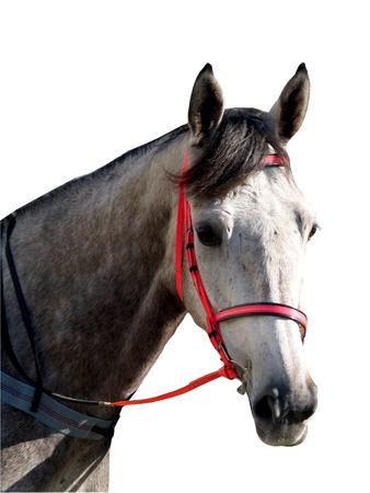 dapple horse: Dapple Greay Horse  Stock Photo