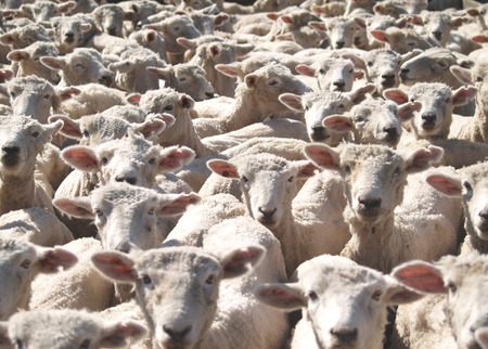 A flock of sheep looking towards the camera