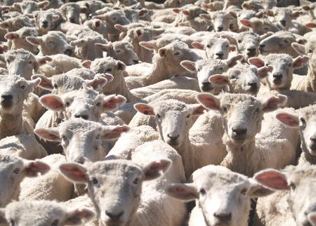 ruminants: A flock of sheep looking towards the camera