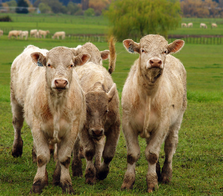 Curious Charolais aginst the lush green spring grass     photo