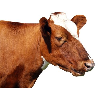 red heifer: Una vaca Ayrshire aisladas