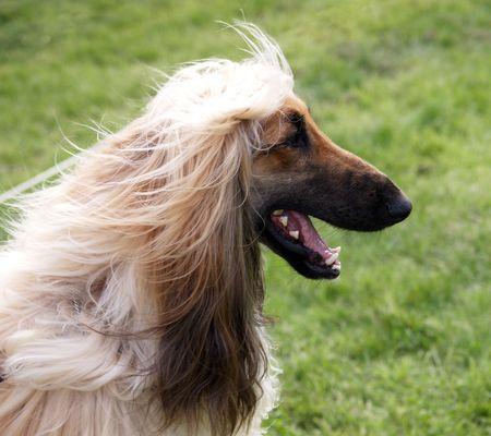 A portrait shot of a happy Afghan Hound