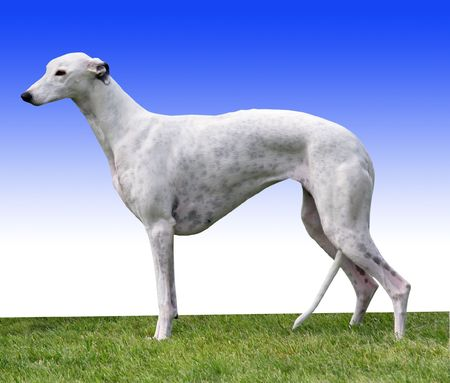 A Greyhound standing in the show ring