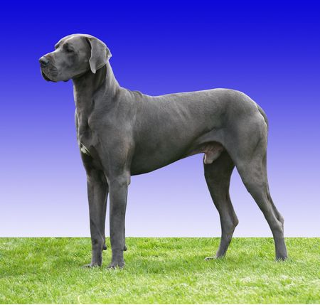 A Great Dane against a blue gradient background       Stock Photo
