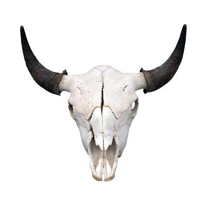 Bull Skull  Stock Photo
